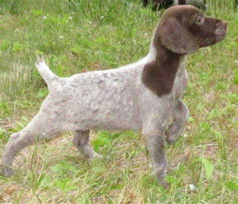 german shorthaired pointer puppies ny index ashandashihtzu homestead