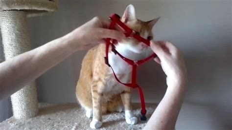 how to put on harness oszi felveszi a h 225 mot how to put a harness on a cat