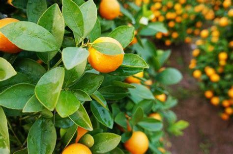beautiful fruit trees colors in the ornamental kumquat news