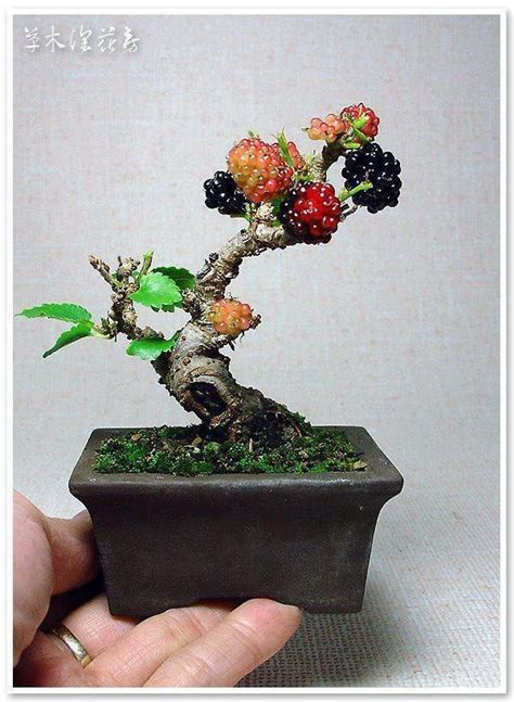 Cabernet Grapevine Bonsai It Or It by 252 Best Images About Bonsai On Maple Bonsai