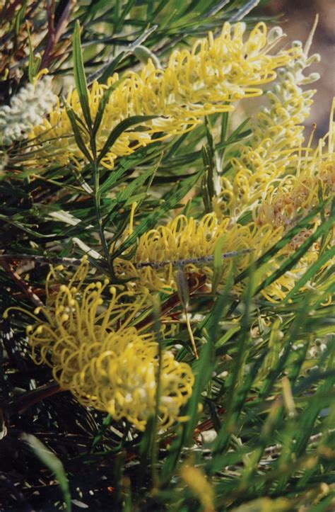 grevillea silvereye cream gardening  angus