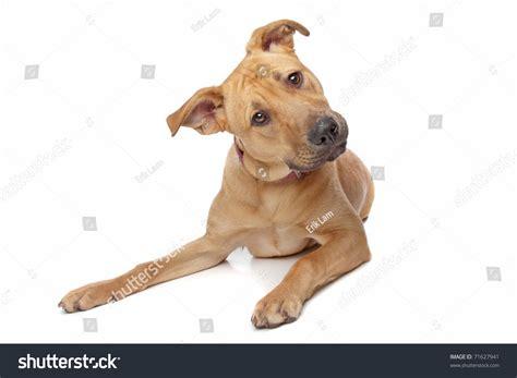 half pitbull half rottweiler mixed breed puppy half rottweiler half pit bull stock photo 71627941