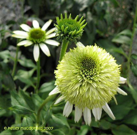 plantfiles pictures echinacea double coneflower coconut lime echinacea purpurea by buddeyallen