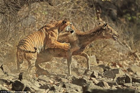 the tigers prey rare photos of tiger killing a deer are captured by photographer andy rouse in india daily