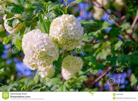 flowering tree stock photo image of petals branch leaves 40602988