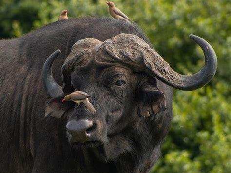 ramalan shio  cek keberuntunganmu   babi tanah