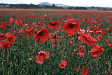 Echoes From the Edge: In Flanders Fields