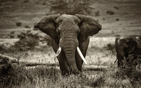 elephant wallpaper for pc elephant hd wallpapers