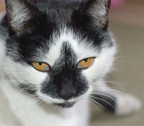 black and white breeds cat black and white animals cats cat breeds cat black and white jpg html