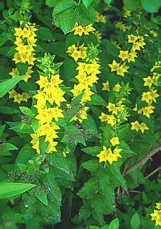 stauden stöcker gold felberich lysimachia punctata