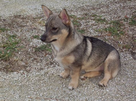 swedish vallhund puppies swedish vallhund info temperament care puppies pictures