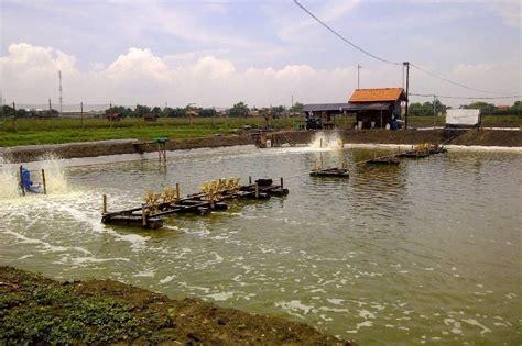 Pakan Udang Vaname 7 cara budidaya udang vaname air tawar omzet rp 2 8 miliar