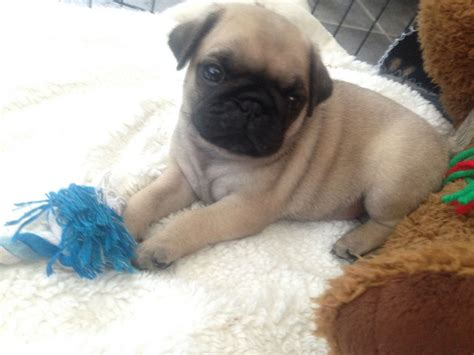 pug puppies for sale gloucestershire beautiful pug puppies for sale gloucester gloucestershire pets4homes
