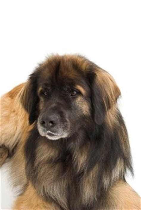 Leonberger Dog   LoveToKnow