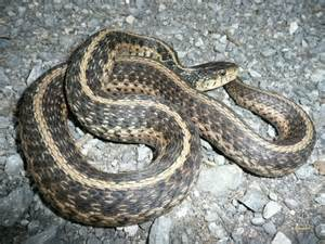Garter Snake Ky Field Herp Forum View Topic 1st Time Posting With Pics