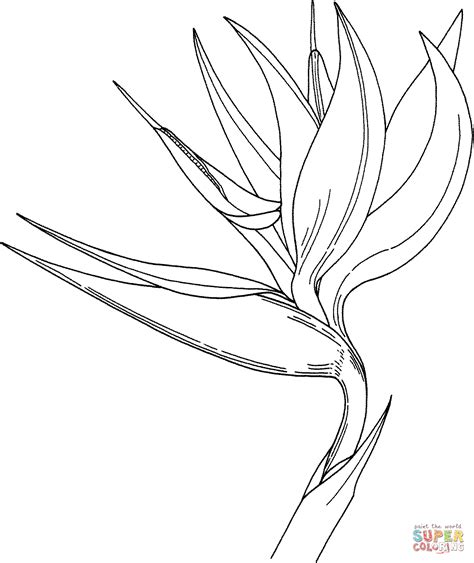 Coloring Pages Bird Of Paradise | bird of paradise flower coloring page free printable