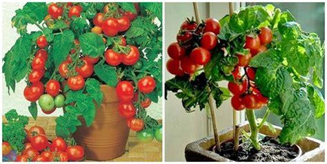 Taman Hias Benih Biji Bibit Tanaman Buah Kenitu 60cm 1 cara mudah menanam dan budidaya tomat dalam pot polybag sarungpreneur