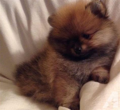 pomeranian puppies for sale in sacramento ca cutest pomeranian puppies for sale in irvine california classified americanlisted