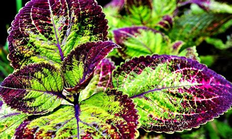 coleus forskohlii all you need to about forskolin moxie foxtrot