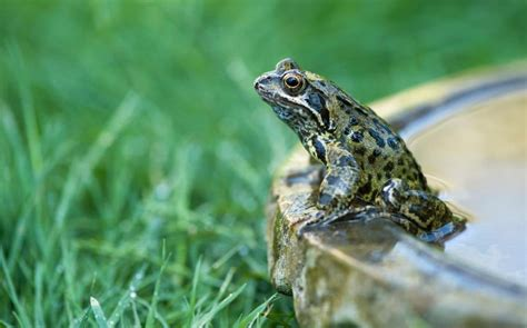 Garden Frogs by Frogs And Toads Vanishing In Britain As Garden Ponds Fall