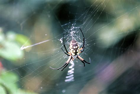 Garden Spider Are They Poisonous Are Black And Yellow Garden Spiders Poisonous