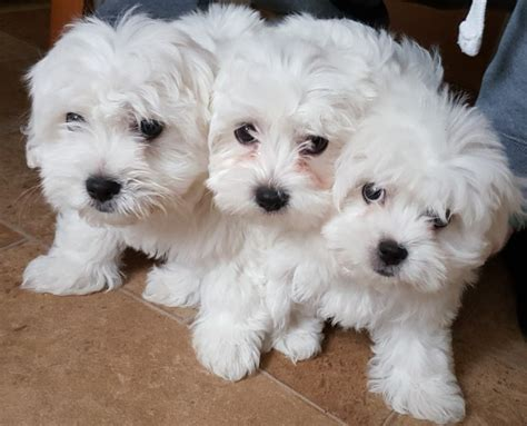 maltese puppies for sale in colorado maltese puppies for sale barking essex pets4homes