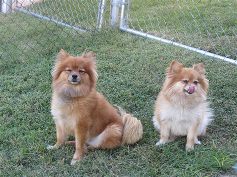 my pomeranians what is a throwback pomeranian