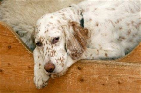 lemon setter dog 1000 images about the regal english setter on pinterest
