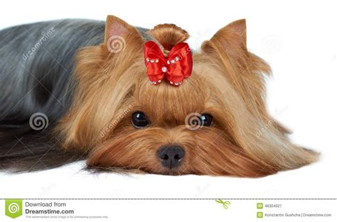 muzzle for yorkie up of terrier s muzzle stock photo image 46304027