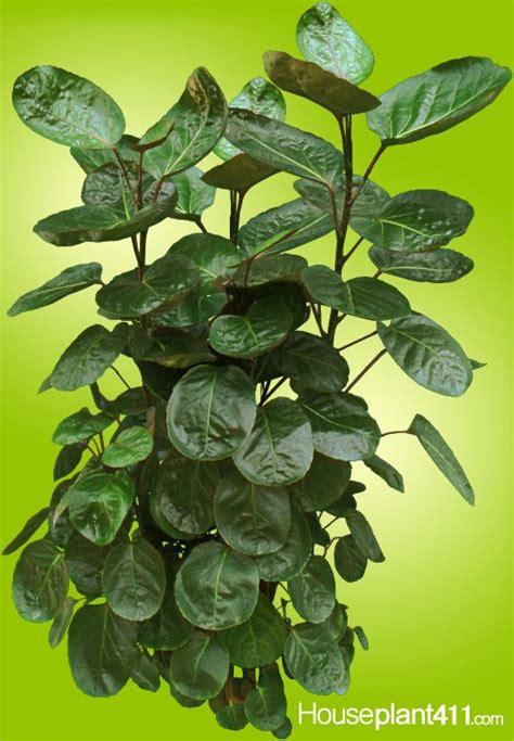 plant id flowers and foliage pothos florida master indoor foliage plant identification gallery