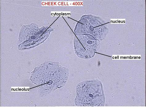 cheek cell diagram cheek label science for grade 9 lcv quito