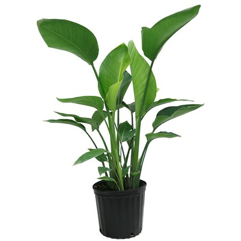 bird of paradise plant indoor home depot 7