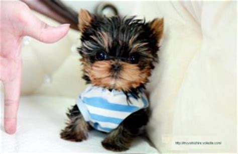 teacup yorkies for adoption in nc teacup puppies for sale fayetteville nc breeds picture