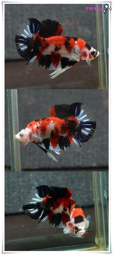 Cupang Pk Koi Fancy 25 best ideas about betta on betta fish beautiful fish and betta fish tank