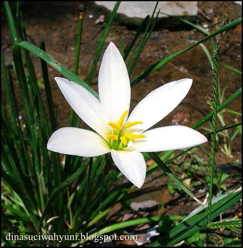 Tanaman Bunga Zephyrantes Putih klasifikasi ilmiah zephyranthes dan manfaatnya bagi kesehatan sebagai tanaman obat herbal