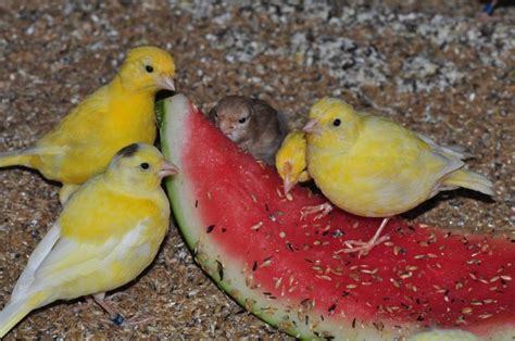 alimentazione canarino alimentazione dei canarini fife fancy e canarini di