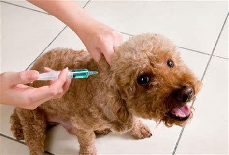 rabies vaccine for puppies pet vaccinations decisions non rabies