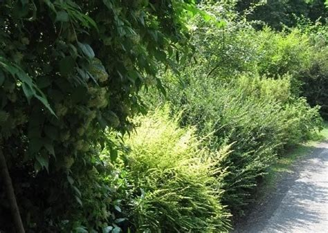 cespugli per giardino arbusti adatti per creare siepi siepi arbusti per siepi