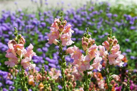 foto fiore bocca di fiore cremisi di antirrino bocca di fotografia