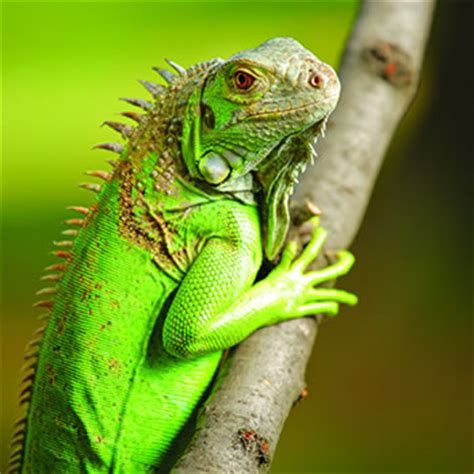 can iguanas change color green iguana color change related keywords green iguana