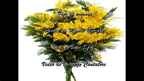 fiore di mimosa quot fior di mimosa quot