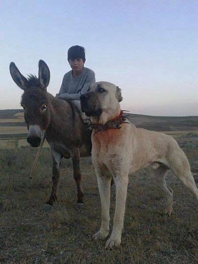 kangal dogs never forget the king the kangal breed dogs arena