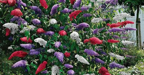 multi colored butterfly bush multi color butterfly bush gardening