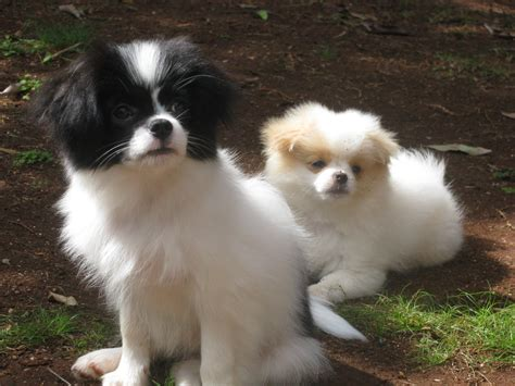 japanese chin x pomeranian pictures of chineranian japanese chin x pomeranian dogs japanese