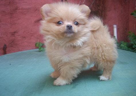 pomeranian puppies for sale northern ireland potty trained pomeranian puppies available for sale adoption from county tryone