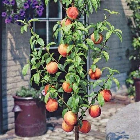 backyard peach tree peach garden sun miniature full sun 8 10 in height 19