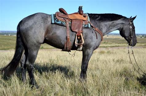 blue horses for sale in as 25 melhores ideias de blue roan no quarter