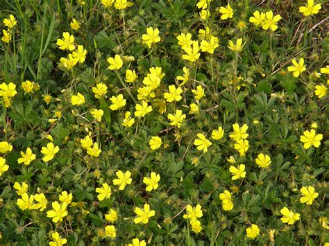 piante fiori gialli pianta spontanea fiori gialli gpsreviewspot