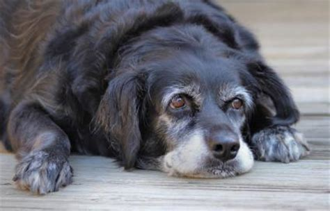 can dogs get dementia can dogs get dementia