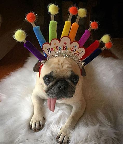Birthday Pug Meme - birthday pug party pugs pinterest birthday pug